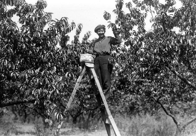 Picking Peaches on Baker Farm